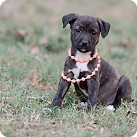 Adopt A Pet :: Xena $250 - Seneca, SC