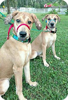 Catahoula Leopard Dog/Hound (Unknown Type) Mix Dog for adoption in Lake Pansoffkee, Florida - 2 Sisters