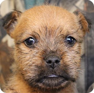 Terrier (Unknown Type, Medium) Mix Puppy for adoption in Colonial Heights, Virginia - Chase