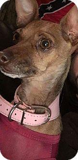Chihuahua/Italian Greyhound Mix Dog for adoption in Astoria, New York - Luna:adoption pending