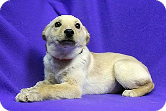 Retriever (Unknown Type) Mix Dog for adoption in Westminster, Colorado - CINDER
