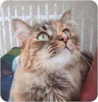 Maine Coon Cat for adoption in El Segundo, California - Chessy