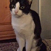 Adopt A Pet :: Brooke - Highland, IN