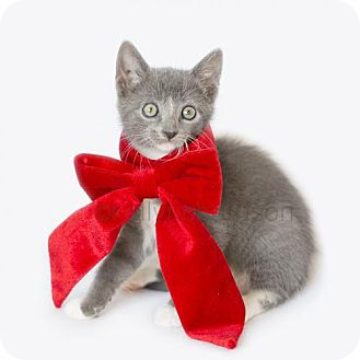 Domestic Shorthair Kitten for adoption in Oviedo, Florida - Ashlee