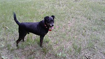 Pug/Chihuahua Mix Dog for adoption in Bethlehem, Connecticut - Blackie Chan
