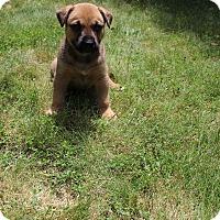 Adopt A Pet :: Toast - Winchester, VA
