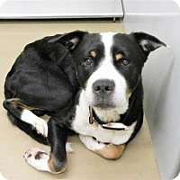 Greater Swiss Mountain Dog Mix Dog for adoption in Knoxville, Tennessee - Gizmo