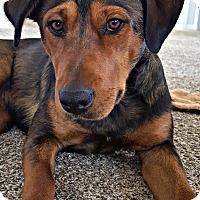 Adopt A Pet :: Blue - Boulder, CO