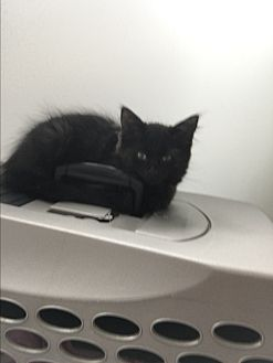 Domestic Longhair Kitten for adoption in Westland, Michigan - Elsa