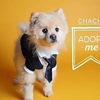 Pomeranian Dog for adoption in Harrisburg, Pennsylvania - ChaChi