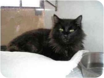 Domestic Longhair Cat for adoption in Walker, Michigan - Smokie