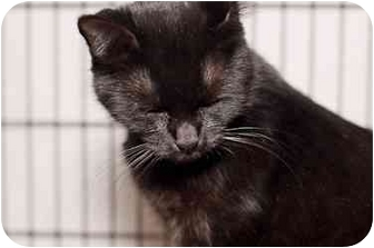 Domestic Shorthair Cat for adoption in Westbrook, Maine - Simba