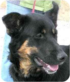 German Shepherd Dog Mix Dog for adoption in Colorado Springs, Colorado - Callie