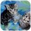 Photo 1 - Domestic Shorthair Kitten for adoption in Arlington, Virginia - Lacey & Lucas