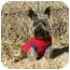 Photo 1 - Cairn Terrier Dog for adoption in Muldrow, Oklahoma - Zachariah