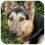 Photo 1 - German Shepherd Dog Mix Dog for adoption in Los Angeles, California - Jack von Nicholson