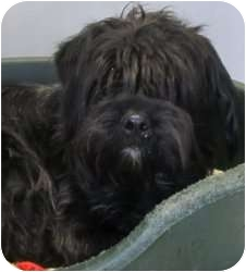 Schnauzer (Miniature)/Poodle (Miniature) Mix Dog for adoption in Kansas City, Missouri - Tula