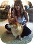 Corgi Dog for adoption in Inola, Oklahoma - Titan