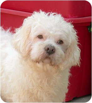 Cockapoo/Lhasa Apso Mix Dog for adoption in El Segundo, California - Sherwood