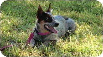 Australian Cattle Dog Mix Dog for adoption in San Angelo, Texas - Cinnamon