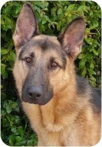 German Shepherd Dog Dog for adoption in Los Angeles, California - Milo von Magdeburg