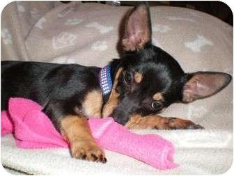 Chihuahua/Dachshund Mix Puppy for adoption in Thomasville, North Carolina - Cricket