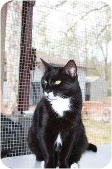 Domestic Shorthair Cat for adoption in Jacksonville, Florida - Chester 0104