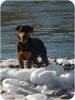 Rottweiler Mix Dog for adoption in Merritt, British Columbia - Daisy
