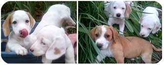 Brittany Mix Puppy for adoption in Haughton, Louisiana - Sharon's pups