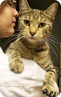 Domestic Shorthair Cat for adoption in Toledo, Ohio - Shasta