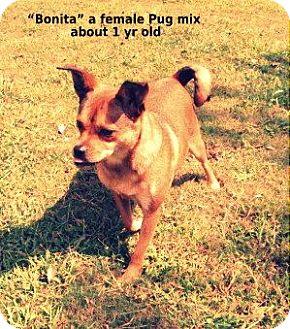 Pug Mix Dog for adoption in Gadsden, Alabama - Bonita
