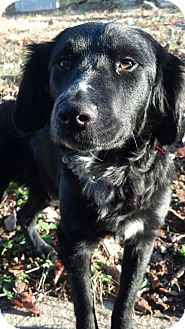 Border Collie/Labrador Retriever Mix Dog for adoption in Jersey City, New Jersey - Laura Linney