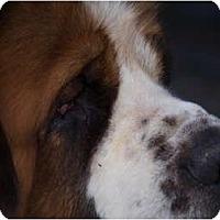 Adopt A Pet :: Brutus - Toronto/Etobicoke/GTA, ON