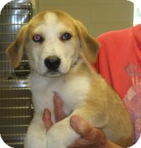 Husky/Beagle Mix Puppy for adoption in Mineral, Virginia - herbie