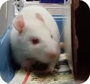 Rat for adoption in Philadelphia, Pennsylvania - MARTHA