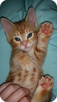 American Shorthair Kitten for adoption in Speonk, New York - Tate