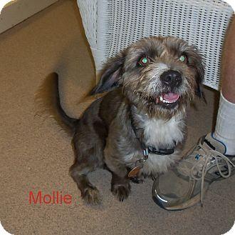 Lhasa Apso/Schnauzer (Miniature) Mix Dog for adoption in Slidell, Louisiana - Mollie