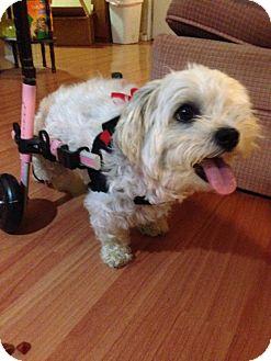 Bichon Frise/Shih Tzu Mix Dog for adoption in Hamilton, New Jersey - Coco