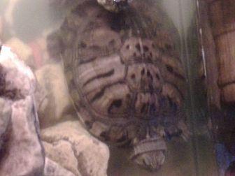 Turtle - Water for adoption in Benton, Pennsylvania - Matilda