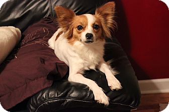 Papillon Dog for adoption in Foster, Rhode Island - Peaches