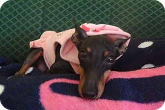 Manchester Terrier Dog for adoption in West Allis, Wisconsin - Chloe
