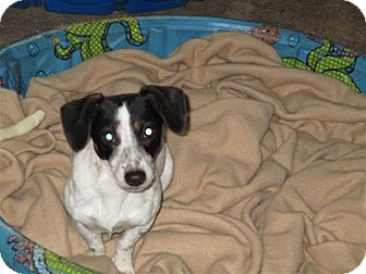 Dachshund/Rat Terrier Mix Dog for adoption in Liberty Center, Ohio - Chick