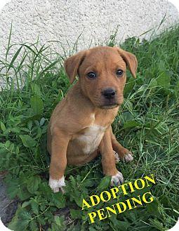 Retriever (Unknown Type) Mix Puppy for adoption in Winnipeg, Manitoba - NUTMEG