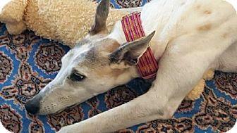Greyhound Dog for adoption in Spencerville, Maryland - Tortelli