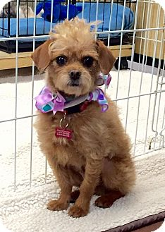 Brussels Griffon/Cairn Terrier Mix Dog for adoption in Encino, California - Samantha