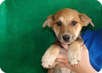 Australian Shepherd/Australian Cattle Dog Mix Puppy for adoption in Oviedo, Florida - Frankie