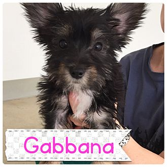 Yorkie, Yorkshire Terrier Mix Puppy for adoption in Agoura Hills, California - Gabbana