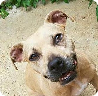 American Staffordshire Terrier Mix Dog for adoption in Chicago, Illinois - Nila