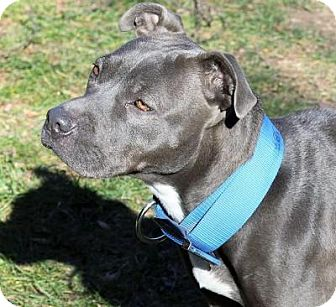Pit Bull Terrier Mix Dog for adoption in Fairfax, Virginia - Sweetness
