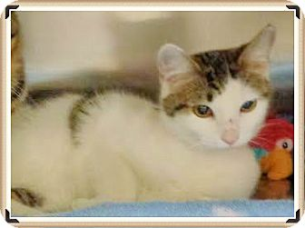 Domestic Shorthair Cat for adoption in Marietta, Georgia - NOBLE SEE ALSO CHELSEY